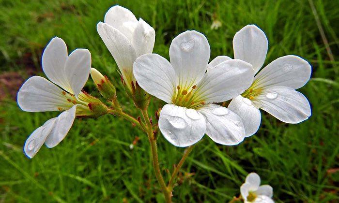Meadow-saxifrage-flowers-008